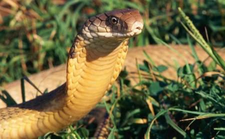Ular cobra termasuk jenis hewan berbisa yang mematikan. - Getty Images